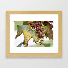 Green and purple grapes on the vine Framed Art Print