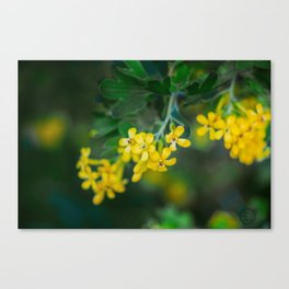 Yellow Blossoms 2 Canvas Print
