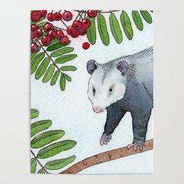 Opossum in a Rowan Tree Poster