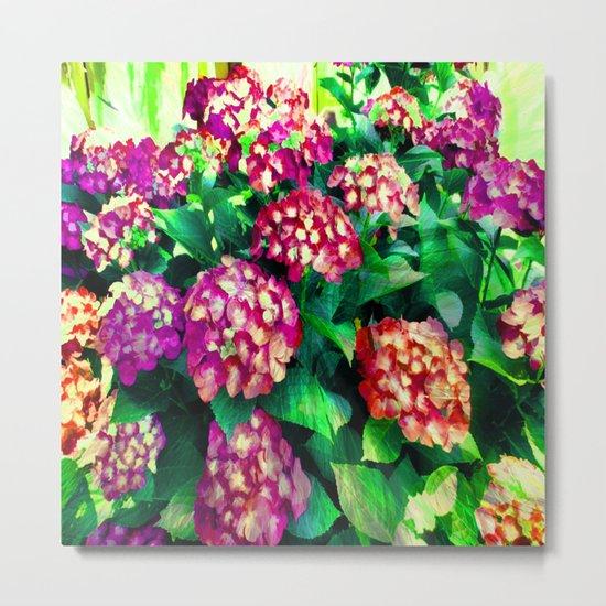 Garden Hydrangea - Raspberry Pink and Lavender Metal Print