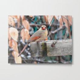 Cardinal first snowfall Metal Print
