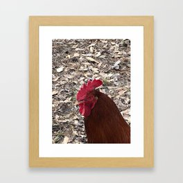 Rhode Island Red Rooster Photography Framed Art Print