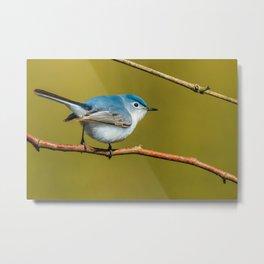 Teeny-Tiny Bird, Blue-Gray Gnatcatcher Photograph Metal Print