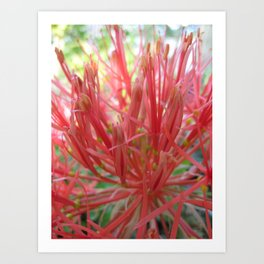 Blood Lily Art Print