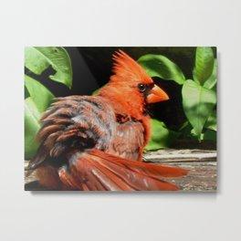 Ruffled Cardinal Metal Print