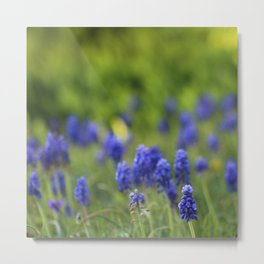 Grape Hyacinth in Spring Metal Print