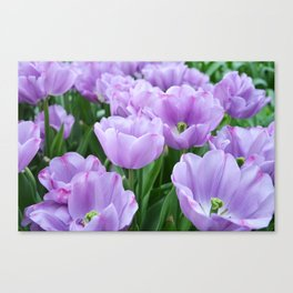 Mauve tulips Canvas Print