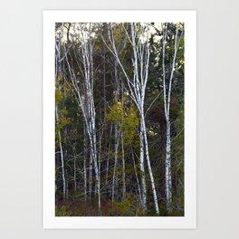 Maine Birches 2 Art Print