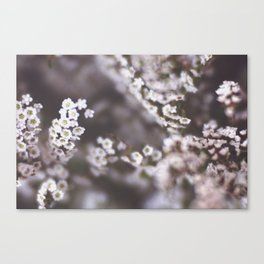 The Smallest White Flowers 03 Canvas Print