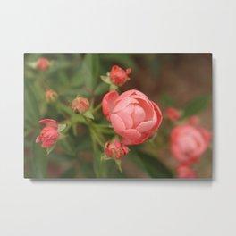 Salmon Roses Metal Print