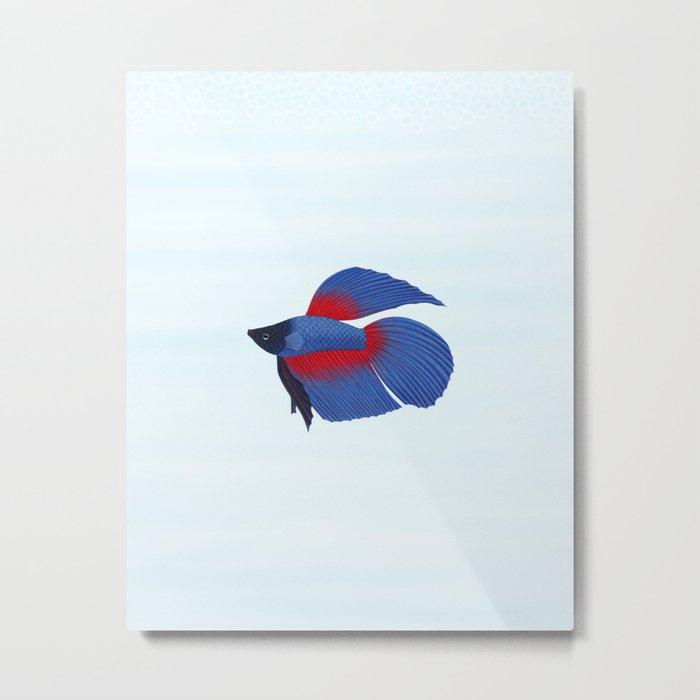 betta splendens royal blue male Metal Print