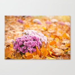 Flowering clump of pink Chrysanths Canvas Print