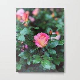Sorbet Roses II Metal Print