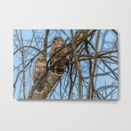 Mated Barred Owls Metal Print