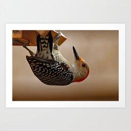 Red-bellied Woodpecker on a Feeder Art Print
