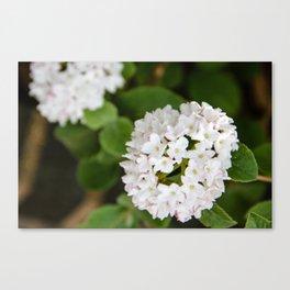 White Koreanspice Viburnum Canvas Print