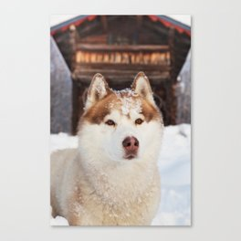 Ginger in the snow Canvas Print
