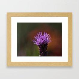 liatris spicata Framed Art Print