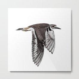 Vociferus peruvianus - Charadrius - Killdeer - Chorlo gritón Metal Print