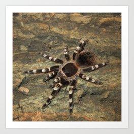 Acanthoscurria Geniculata I Art Print