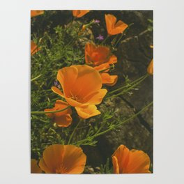 California Poppies 001 Poster