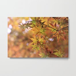Japanese Maple In Fall Photography Metal Print
