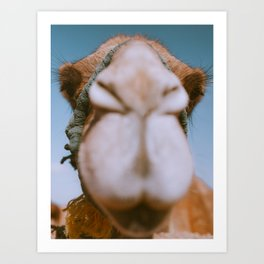 Camel Close Up Looking in the Camera | Animal Portrait | Desert, Morocco Art Print