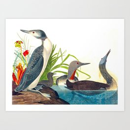 Red-Throated Diver Duck Art Print
