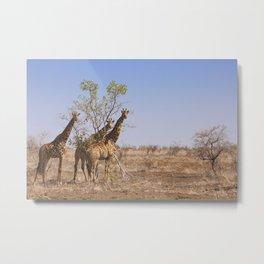 Giraffes in Kruger National Park, South Africa Metal Print