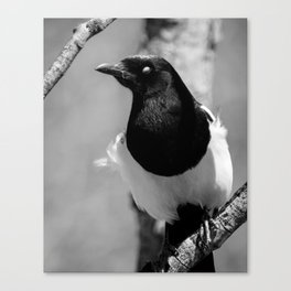 Black-billed Magpie Blinking Canvas Print