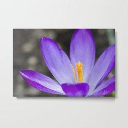 Crocus flower zen-like macro in spring seaso Metal Print
