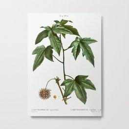Sweetgum (Liquidambar styraciflua) from Traité des Arbres et Arbustes que l'on cultive en France en Metal Print