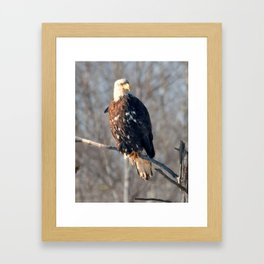 Bald eagle perched near Itasca Framed Art Print