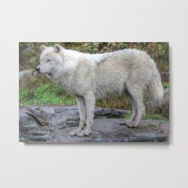 Arctic Wolf HDR Metal Print