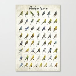 Budgerigar Colors Poster Canvas Print