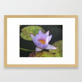 Water Lily,Hawaii Framed Art Print