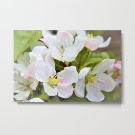Apple Blossoms by Reay of Light Metal Print