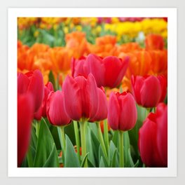 Colourful Tulips Art Print