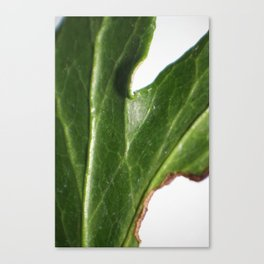 Ivy leaf Canvas Print