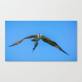 Osprey Uses a Lure to Catch a Fish Canvas Print