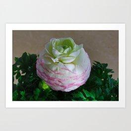 White and Pink Ranunculus Art Print