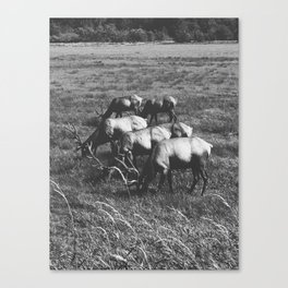 Grazing Elk Canvas Print