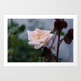 October Rose Art Print