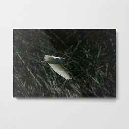 White Cattle Egret Flying Metal Print