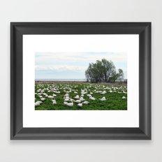Les Grandes Oies des neiges Framed Art Print