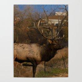 Loveland Elk Poster