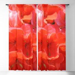 Zonal Geranium Pelargonium hortorum Blackout Curtain