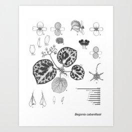 Begonia cabanillasii by Yu Pin Ang Art Print