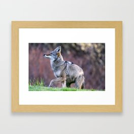 Wild coyote on the hunt Framed Art Print