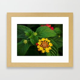 Red and Yellow Lantana Flower and Green Leaves Framed Art Print
